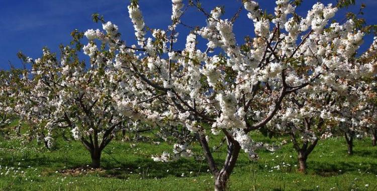 Cirerers en flor