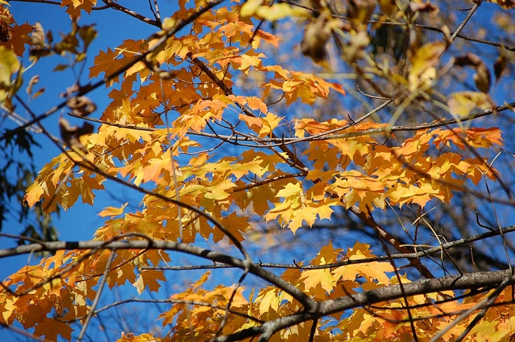 autumn-leaves-yellow-blue